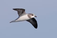 Soft-plumaged Petrel (Image ID 30553)
