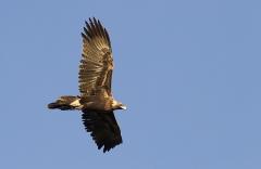 Wedge-tailed Eagle (Image ID 30649)