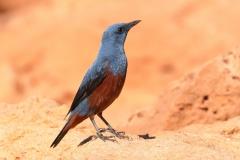Blue Rock-Thrush (Image ID 31113)