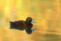 Blue-billed Duck (Image ID 31593)