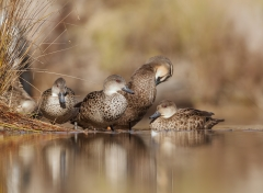 Grey Teal, Pacific Black Duck