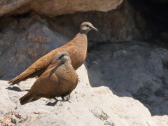 White-quilled Rock-Pigeon (Image ID 31486)