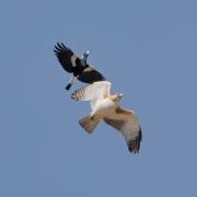 Australian Magpie, Little Eagle