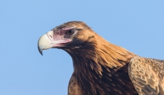 Wedge-tailed Eagle (Image ID 31394)
