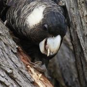 Carnaby's Black-Cockatoo (Image ID 31591)