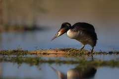 Great Crested Grebe (Image ID 31594)