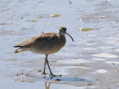 Whimbrel (Image ID 31584)