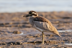 Beach Stone-curlew (Image ID 31586)