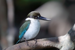 Collared Kingfisher