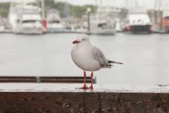 Silver Gull (Image ID 31811)