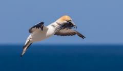Australasian Gannet (Image ID 32507)