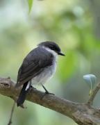 Mangrove Robin (Image ID 32603)