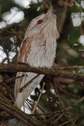 Tawny Frogmouth (Image ID 32604)