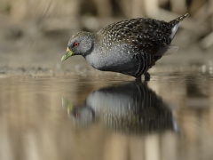 Australian Spotted Crake (Image ID 32691)