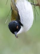 White-naped Honeyeater