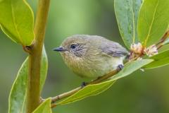 Yellow Thornbill (Image ID 32666)