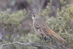Southern Scrub-robin (Image ID 32644)