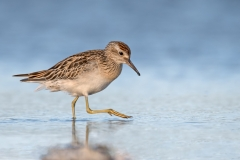 Sharp-tailed Sandpiper (Image ID 33139)