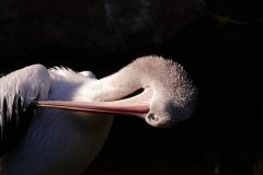 Australian Pelican (Image ID 33554)