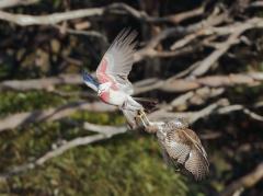 Collared Sparrowhawk, Galah (Image ID 33681)
