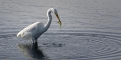 Great Egret (Image ID 33673)
