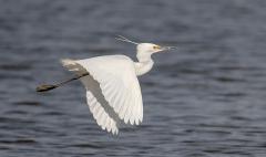 Little Egret (Image ID 33861)