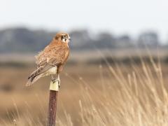 Brown Falcon (Image ID 33796)