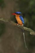 Buff-breasted Paradise-Kingfisher (Image ID 33749)