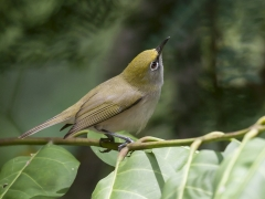 Christmas Island White-eye (Image ID 33639)