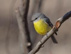 Eastern Yellow Robin (Image ID 33770)