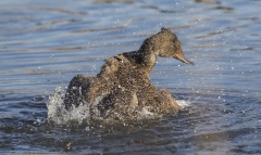 Freckled Duck (Image ID 33882)