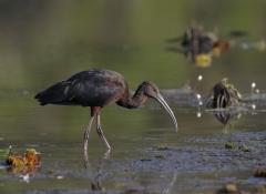 Glossy Ibis (Image ID 33579)