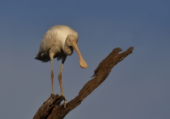 Yellow-billed Spoonbill (Image ID 33849)