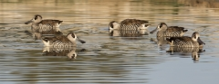 Pink-eared Duck (Image ID 33881)