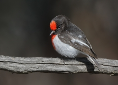 Red-capped Robin (Image ID 33766)