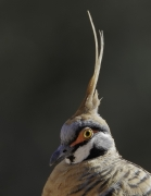 Spinifex Pigeon (Image ID 33589)