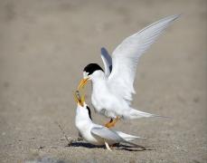 Fairy Tern (Image ID 33631)