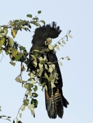 Red-tailed Black-Cockatoo (Image ID 33616)