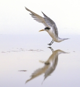 Crested Tern (Image ID 33558)