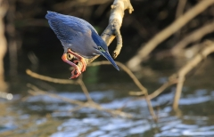 Striated Heron (Image ID 33580)