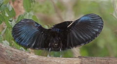 Magnificent Riflebird (Image ID 33468)