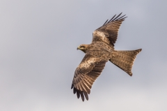 Black Kite (Image ID 33789)