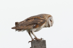 Barn Owl (Image ID 34316)