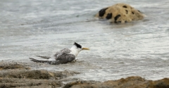 Crested Tern (Image ID 34321)