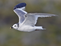 Sabine's Gull (Image ID 34224)