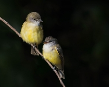 Lemon-bellied Flycatcher (Image ID 34263)