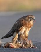 Brown Falcon (Image ID 34094)