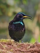 Victoria's Riflebird (Image ID 33999)