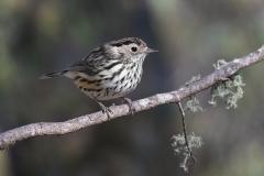 Speckled Warbler (Image ID 33947)