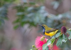 Olive-backed Sunbird (Image ID 34306)